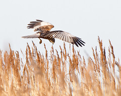 The Final Image (Andrew H Wildlife Images) Tags: bird nature wildlife norfolk nwt marshharrier cleymarsh canon7d ajh2008
