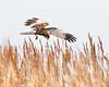 The Final Image (Andrew Haynes Wildlife Images) Tags: bird nature wildlife norfolk nwt marshharrier cleymarsh canon7d ajh2008