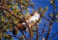 Fleurs de pommier B (France Smyth) Tags: flowers fleurs felines mammals appletrees deciduoustrees felidae feliscatus domesticcats mammifres flids felids malusdomestica flins maluspumila chatsdomestiques arbresfeuillus pommierdomestique pommiercommun