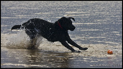 Brakes (JKmedia) Tags: sea orange playing black beach ball fun coast lab cornwall labrador legs canine running spray poppy brakes paws splash collar outstretched bude skidding pregamewinner