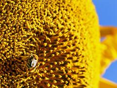 abundance of riches (janoid) Tags: yellow golden bee sunflower mybabies pollen abundance riches golddust discflowers