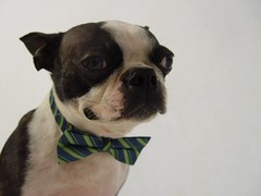 "May 26 2011 [Day 206] ""Love The Way You Do So"" (James_Seattle) Tags: dog boston bostonterrier blackwhite sam sony may bowtie cybershot dressedup 1995 365 k9 year1 erasure dscf717 2011 sonycybershotdscf717 jamesseattle 31daysoferasuresongtitles lovethewayyoudoso"