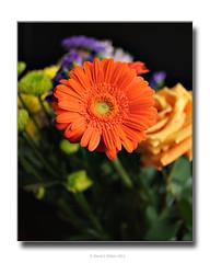 Stand Alone (David S Wilson) Tags: orange flower home nikon gerbera 2011 d90 wonderfulworldofflowers nikkor28mmf28lens