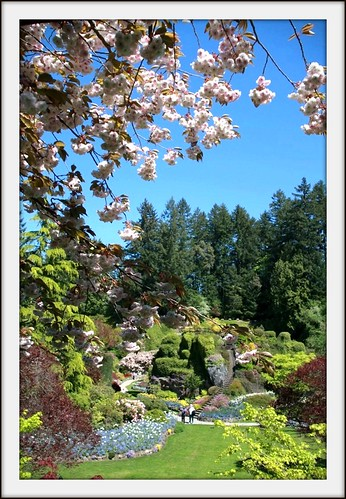 The Sunken Gardens - blooming Cherry tree