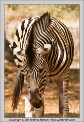Zebra at Mysore  Zoo (drkrishi) Tags: india zoo asia karnataka mysore mammalia equus equusburchelli equidae plainszebra chordata burchellszebra perissodactyla mysorezoo commonzebra equusburchellii equusquagga srichamarajendrazoologicalgardens drkrishi drkrishicom