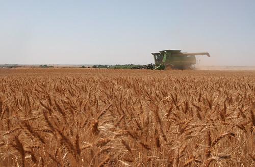 Harvesting by Hazelton KS