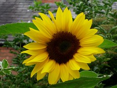 growing sunflowers with kids