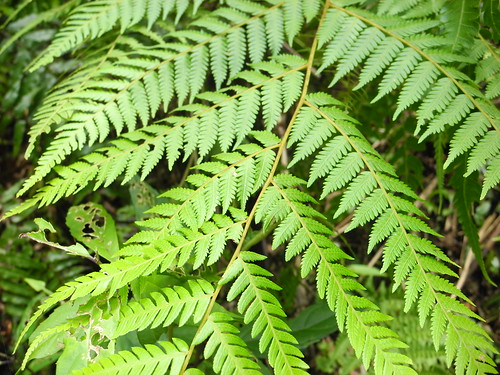 Fern Leaves  (by Queenie)