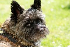 Otto (osto) Tags: dog chien pet animal cane denmark europa europe sony perro terrier zealand otto pies dslr scandinavia danmark cairnterrier a300 kpek sjlland  tamron70300 nrum osto rudersdal june2011 alpha300 osto