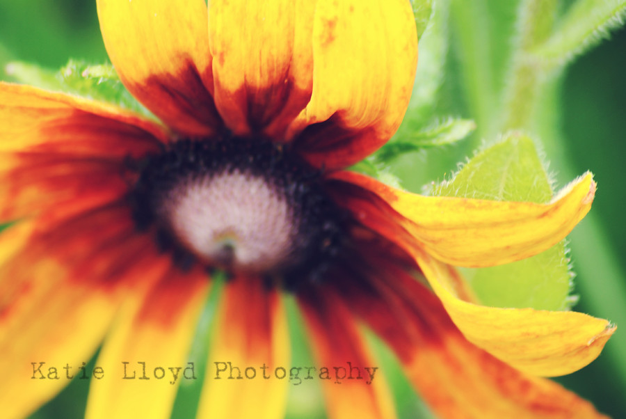 coneflower---orange-2