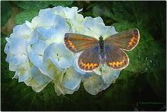 Hydrangeas & Plebejus argus (Robin.Benea) Tags: flower macro texture nature butterfly interesting sony awesome hydrangeas plebejusargus h50 flickraward flickrestrellas doublyniceshot mygearandme mygearandmepremium ringexcellence