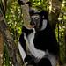 Madagascar Ankanin'Nofy Palmarium Indry