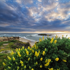 Springtime in Pescadero - San Mateo Coast, California (Jim Patterson Photography) Tags: california sunset usa seascape yellow landscape coast bush coastal wildflowers pescadero lupine sanmateocounty statebeach jimpattersonphotography jimpattersonphotographycom seatosummitworkshops seatosummitworkshopscom