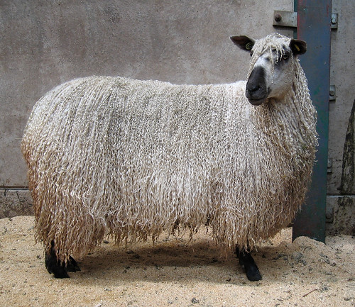 Teeswater sheep 2