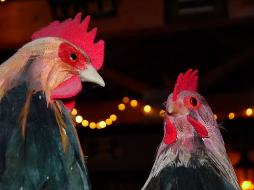"Fake Chickens at ""Night"""