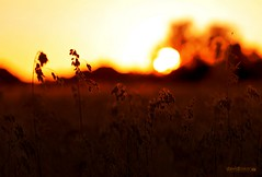 Sunset Over A Wheat Field..... (dave-baker) Tags: sunset sun field lens nikon flickr wheat 200 mm setting 70 widnes 2011 davebaker d7000