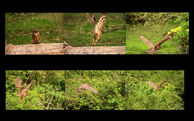 Brown fish owl flight collage