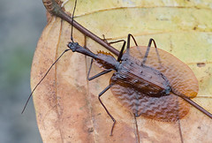 Violin Beetle!!! (IMG_6249 copy) (Kurt (OrionHerpAdventure.com)) Tags: beetle carabidae groundbeetle maliaubasin mormolyce violinbeetle lebiinae mormolycesp