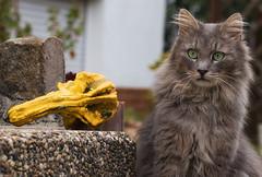 How to ignore a pumpkin (FocusPocus Photography) Tags: fynn fynnegan katze kater cat chat gato tier animal haustier pet krbis pumpkin garten garden