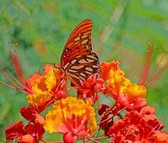 THE MATRIARCH (Irene2727) Tags: butterfly nature flowers desertbirdofparadise flora colors bokeh