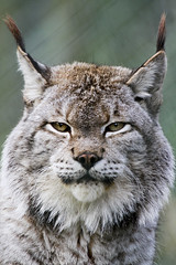 Lynx (wwmike) Tags: wildlife bigcat dartmoorzoo flickrbigcats