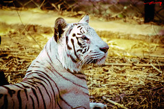 White Tiger (AshMec) Tags: india nature bangalore maheshwari ashveen flickraward ashveenmaheshwari