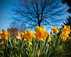 Royal Crescent Daffs Part 2 (James_2nd) Tags: blue green yellow bath royal crescent daffodils