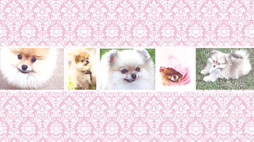 pomeranian wallpaper. Wallpaper Pomeranian 1366 x