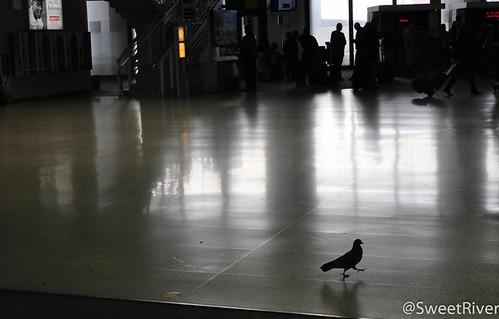 底特律机场一只蛋定的鸽子
