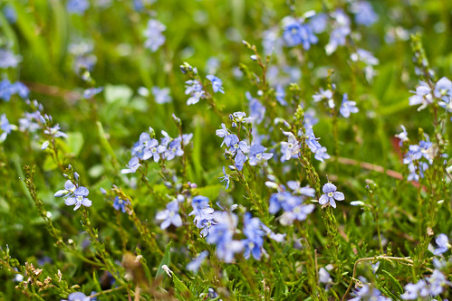 Crimean flowers