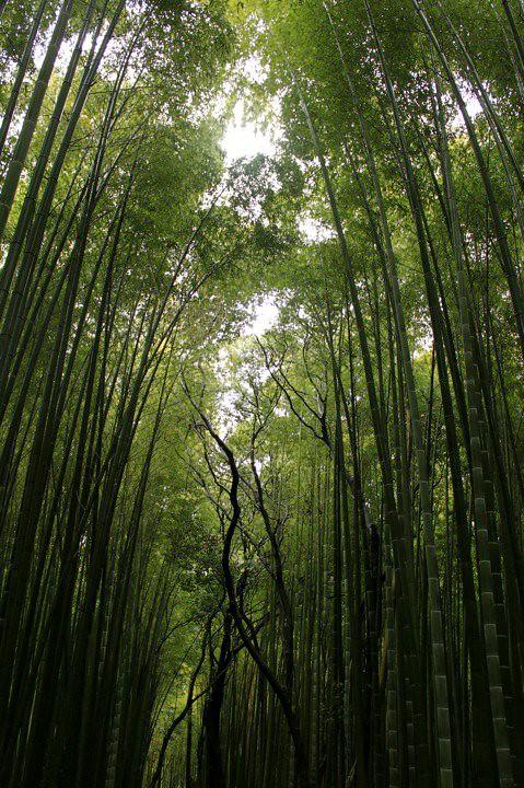 BAMBOO FOREST 1.jpg