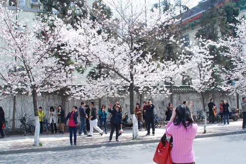 cherry blossom viewing by hallucygenia