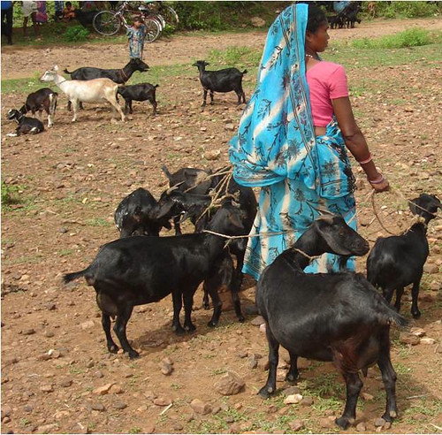 A woman in Jharkhand tends her goats