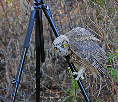Hostile Takeover - 6445bsg (teagden) Tags: wild summer tripod owl curious juvenile hostile gh takeover manfrotto 2010 greathorned