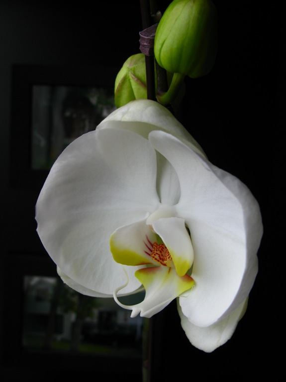 white phalaenopsis orchid bloom 005