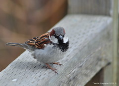 Male House Sparrow (Passer domesticus) (Photography Through Tania's Eyes) Tags: brown canada black male bird nature animal fauna female photography grey photo wings flora nikon photographer bc image britishcolumbia okanagan wildlife branches beak feathers photograph sparrow buds kelowna railing housesparrow passerdomesticus okanaganvalley nikond90 copyrightimage rotarymarshes taniasimpson