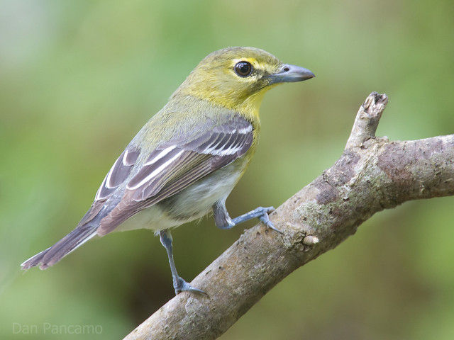 Yellow throated vireo fall - photo#35