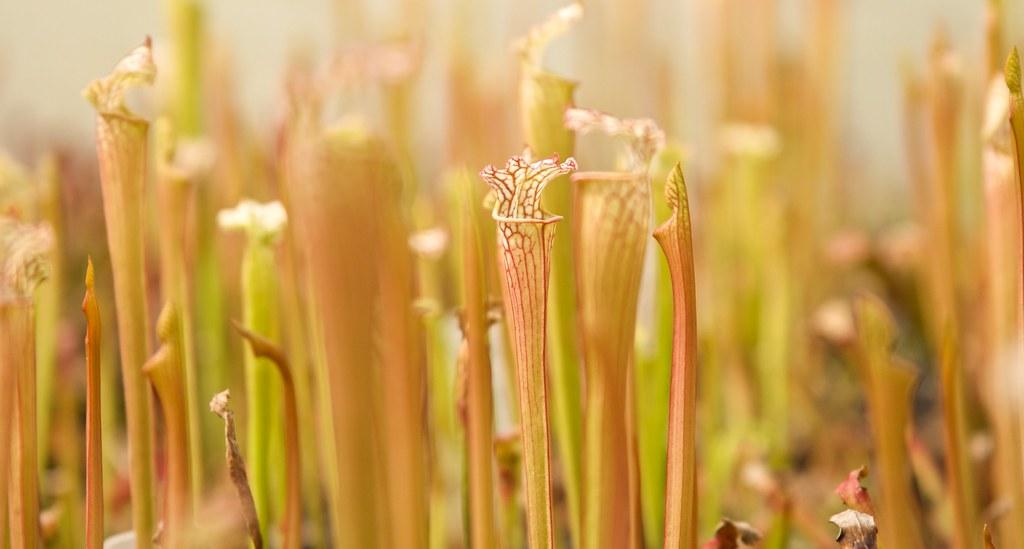 pitcher plant 2  149