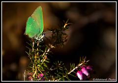 colloprys-rubi (giorgiog2009) Tags: wild bosco smeraldo farfalle eos550d colloprysrubi