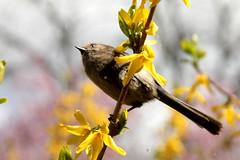 Uccello nella  forsizia (Pierre♪ à ♪VanCouver) Tags: bird ave oiseau uccello sofarsogut bushtit vancouver aegithalidae mésange printemps spring primavera 春 鳥