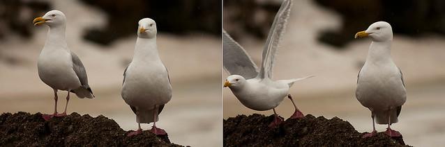 gull diptych