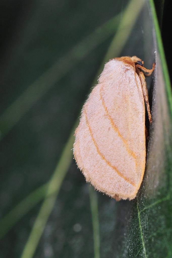 灰雙線刺蛾  Cania heppneri