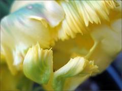 Yellow tulip, close up