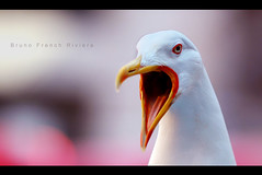 Vos gueules les mouettes ! (Bruno French Riviera) Tags: mer france animal composition canon french nice cotedazur purple bokeh violet bec oiseau mouette 135mm frenchriviera brunofrenchriviera