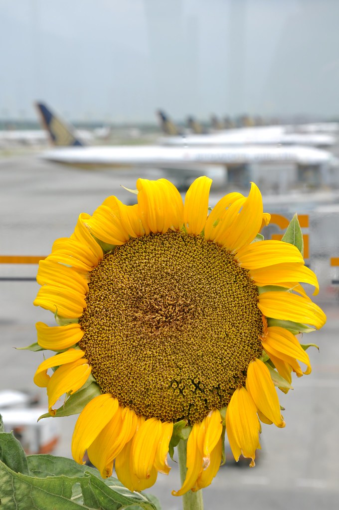 Sunflowers in the Airport 向日葵在机场 ...