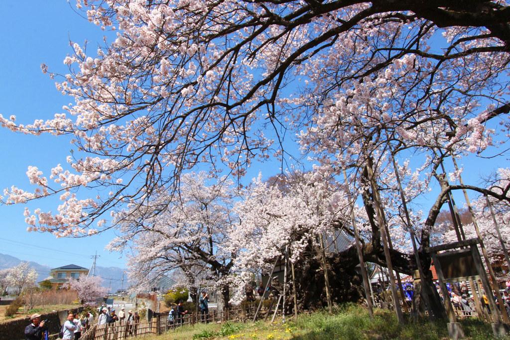 Sakura Photo 2011The Yamadaka Jindai Cherry blossom (18)
