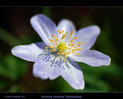 "Anemone nemorosa ""Robinsoniana"" (Greet N.) Tags: flower spring sony lila april lente greet bloem fantasticflower anemonenemorosarobinsoniana"