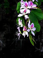 Bauhinia variegata  (Mel@photo break) Tags: pink plant black flower dark mel melinda orchidtree bauhiniavariegata  hppt chanmelmel melindachan