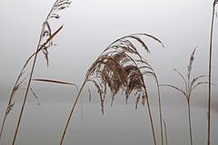 Schilff im Nebel (tomsen72) Tags: nebel weiher schilff nebellandschafthaundorf