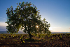 Almond tree sunrise (Ryan Opaz) Tags: valencia delete5 delete2 spain vines wine delete6 delete7 save3 delete3 save7 save8 delete delete4 save save2 save9 save4 almonds april save5 save10 save6 zev 2011 catavino bobal ryanopaz savedbythehotboxuncensoredgroup